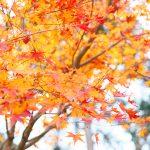 秋の紅葉和婚神前式
