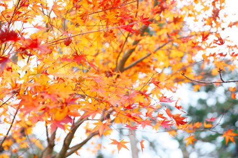 秋の紅葉神前式