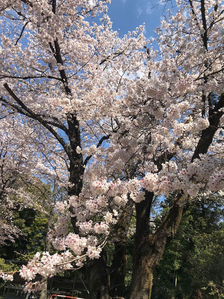 群馬和婚神前式桜結婚式